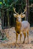 Barasingha (duvauceli do Cervus), igualmente chamado cervos do pântano, graciosos Foto de Stock Royalty Free