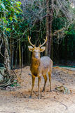 Barasingha (duvauceli do Cervus), igualmente chamado cervos do pântano, graciosos Imagens de Stock Royalty Free