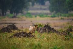 A barasingha in kanha meadows, Kanha Tiger Reseve, India cub on a stroll in evening light at Ranthambore National Park. A barasingha from kanha meadows, Kanha royalty free stock images