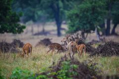 A male tigerA barasingha in kanha meadows, Kanha Tiger Reseve, India cub on a stroll in evening light at Ranthambore National Park. A barasingha from kanha royalty free stock photos