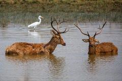 Barasingha-Rotwild sträubt sich das Kämpfen stockfoto