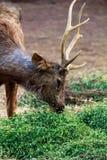 Barasingha-Sumpfrotwild, die Gras am Nationalpark essen Stockfotos