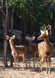 Barasingha swamp deer Stock Images