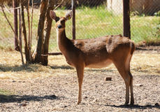 Barasingha swamp deer Royalty Free Stock Images
