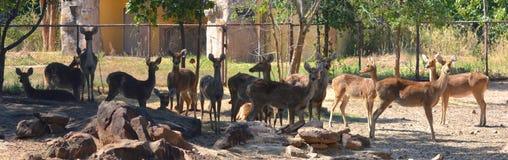 Barasingha swamp deer Royalty Free Stock Photos