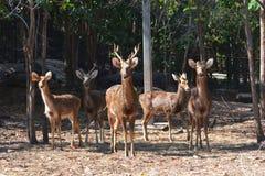 Barasingha swamp deer Stock Photo