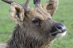 Barasingha Swamp Deer Stock Photos