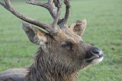 Barasingha Swamp Deer Royalty Free Stock Photo
