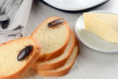 Barata no alimento na cozinha O problema é na casa devido às baratas Barata que come na cozinha imagem de stock royalty free