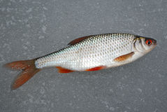 Barata que encontra-se no gelo, esta pesca do inverno Fotografia de Stock