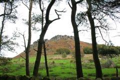 Baratas através das árvores e dos ramos dos pinhos fotografia de stock royalty free
