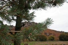 Baratas através das árvores e dos ramos dos pinhos imagem de stock
