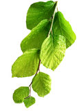 barb δέντρο φυλλώματος απελ Στοκ φωτογραφίες με δικαίωμα ελεύθερης χρήσης
