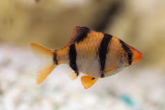 Barb in the aquarium Stock Photography