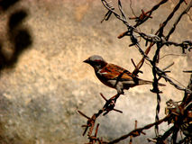 Barb Bird. A sparrow sitting on a barb-wire Stock Photos