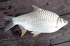 The Barb of Cyprinidae fish. Stock Image