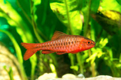 Barb fish Royalty Free Stock Images