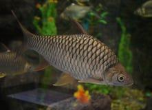Barb fish. Swimming in aquarium Royalty Free Stock Photos