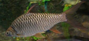 Barb fish. Swimming in aquarium Royalty Free Stock Image