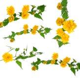 Barb of kerria japonica set.  Stock Image