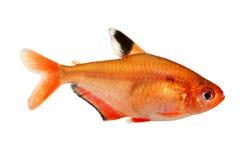 Barb Serpae ψαριών ενυδρείων του γλυκού νερού Hyphessobrycon serape eques που απομονώνεται τετρα στο λευκό Στοκ φωτογραφία με δικαίωμα ελεύθερης χρήσης