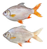 Barb Tinfoil Fish. Barbonymus schwanenfeldii tinfoil barb fish royalty free stock photos