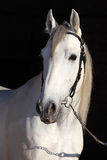 Barb white horse Royalty Free Stock Photography