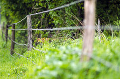 Barb wire field fence in foliage. Barb wire field fence in uncultivated foliage Royalty Free Stock Images