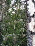 Barba da árvore Foto de Stock