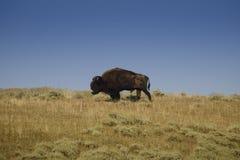 Barba del bisonte Imágenes de archivo libres de regalías