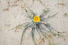 Barba di becco baltica in dune di sabbia vicino al mare in primavera fotografia stock