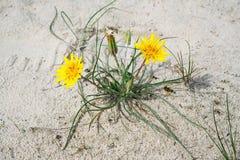 Barba di becco baltica in dune di sabbia vicino al mare in primavera immagini stock libere da diritti