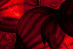 Barbabietola cruda affettata Fotografia Stock