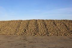 Barbabietola da zucchero Fotografia Stock Libera da Diritti