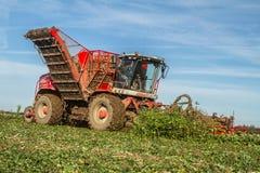 Barbabietola da zucchero di raccolta e di sollevamento nel campo Immagini Stock