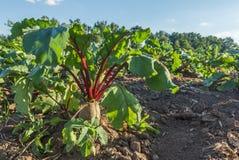Barbabietola da zucchero in un campo Scena rurale Il raccolto e coltivare fotografia stock libera da diritti