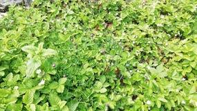 Barbabietola di erbe nel sud Germania nel tempo di primavera immagine stock