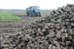 Barbabietole da zucchero Immagini Stock Libere da Diritti