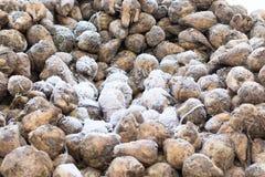 Barbabietole da zucchero dopo il raccolto Immagine Stock