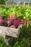 Barbabietole fresche dal giardino Immagine Stock Libera da Diritti