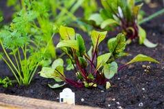 Barbabietole organiche del letto del giardino Fotografia Stock