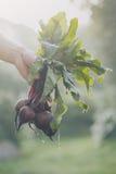 Barbabietole saporite fresche di Adult Man Holding dell'agricoltore nella mattina del giardino Fotografia Stock Libera da Diritti