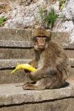 Barbaby-Affe, der auf der Wand übersieht das Hafengebiet, Gibraltar, Großbritannien, Westeuropa sitzt Stockfotografie