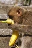 Barbaby-Affe, der auf der Wand übersieht das Hafengebiet, Gibraltar, Großbritannien, Westeuropa sitzt Stockfoto