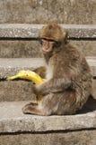 Barbaby-Affe, der auf der Wand übersieht das Hafengebiet, Gibraltar, Großbritannien, Westeuropa sitzt Lizenzfreies Stockbild