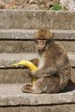 Barbaby-Affe, der auf der Wand übersieht das Hafengebiet, Gibraltar, Großbritannien, Westeuropa sitzt Stockbild