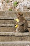 Barbaby-Affe, der auf der Wand übersieht das Hafengebiet, Gibraltar, Großbritannien, Westeuropa sitzt Lizenzfreie Stockfotos
