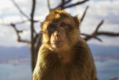 Barbaby-Affe, der auf der Wand übersieht das Hafengebiet, Gibraltar, Großbritannien, Westeuropa sitzt Stockfotos