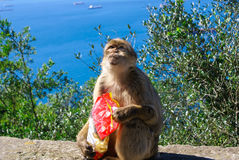 Barbaby-Affe, der auf der Wand übersieht das Hafengebiet, Gibraltar, Großbritannien, Westeuropa sitzt Stockbilder