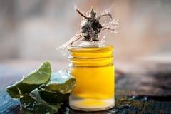 Barbadensis, aloe Vera ed il suo olio estratto in una bottiglia trasparente B Immagini Stock